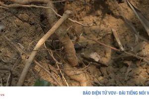 Già làng Cơ Tu làm giàu từ trồng sâm Ba kích