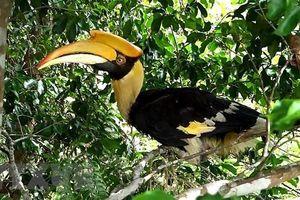 Thừa Thiên-Huế: Thả chim Hồng Hoàng có tên trong sách đỏ về rừng