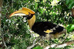 Thả chim Hồng Hoàng có tên trong sách đỏ về rừng