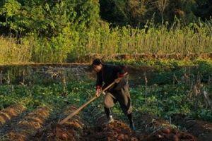 'Tiên nữ Tứ Xuyên' Lý Tử Thất tự tay trồng, thu hoạch lúa mì, chế biến món ngon