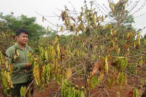 Huyện Ea H'leo thiệt hại nặng vì khô hạn