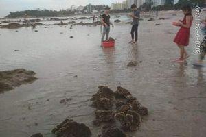 Ngang nhiên tàn phá rạn san hô quý hiếm bên bờ vịnh Nha Trang