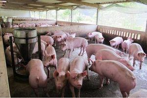 Giá thịt lợn tăng lên mức cao chót vót