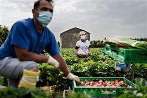 COVID-19 khiến người Italy quay lại công việc nhà nông từ thời cha ông