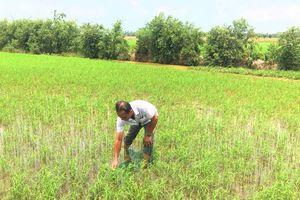 Thâm canh lúa bền vững bằng kỹ thuật '3 giảm, 3 tăng', '1 phải, 5 giảm'