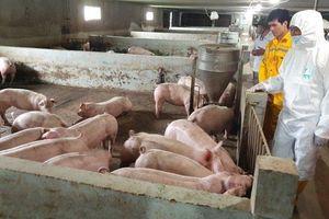 Chuẩn bị xuất chuồng khoảng 45 nghìn con lợn thịt