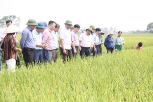 Giống lúa Nhật Bản cho hiệu quả sản xuất cao gấp 2 lần Bắc Thơm số 7