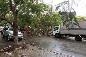 Cây phượng ở Sài Gòn bật gốc đổ ra đường sau mưa