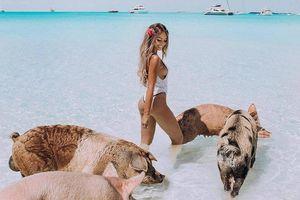 Đàn lợn bơi giỏi, thân thiện với con người ở Bahamas