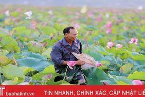 Mùa thu hoạch trên đầm sen rộng 7 hecta ở Hà Tĩnh
