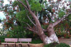 Thêm một cây phượng cao to bật gốc đổ trong sân trường