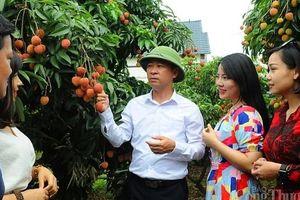 Thủ tướng cho phép 309 thương nhân Trung Quốc sang mua vải thiều Lục Ngạn