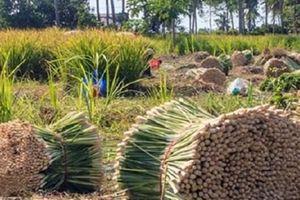 Yên Bái: Trồng sả lấy tinh dầu cho hiệu quả cao ở Trạm Tấu