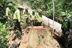 Quảng Bình chỉ đạo xử lý vụ khai thác trái phép rừng Trường Sơn