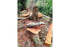 Gần 65 m3 gỗ bị khai thác trái phép tại Lâm trường Trường Sơn