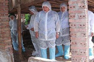 Nhiều ổ dịch tả lợn Châu Phi chưa được khống chế tại Sơn La