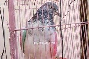 Chim bồ câu bị giam giữ vì tội gián điệp