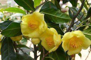 Trà hoa vàng - Không chỉ là trà với nhiều công dụng vàng cho sức khỏe