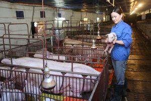 Tạo nguồn lợn giống phục vụ tái đàn