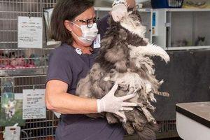 Tiếp nhận sinh vật lạ, nhân viên chăm sóc xã hội phát hoảng vì không biết nó là gì cho đến khi cạo bỏ lớp lông dày