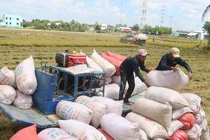 Giá cao nhất nhiều năm, gạo Việt có cơ hội 'vượt mặt' gạo Thái