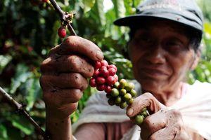 Giá cà phê Robusta Việt Nam ổn định bất chấp nguồn cung trên thị trường ở mức yếu