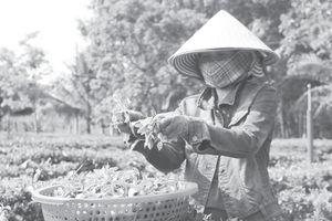Nỗ lực đưa danh trà Gò Loi vươn xa
