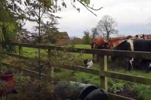 Chết cười xem gà trống 'cà khịa' cả đàn bò sữa