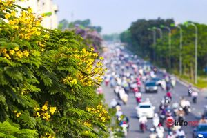 Rặng hoa lim sét nở vàng rực rỡ giữa phố phường Hà Nội