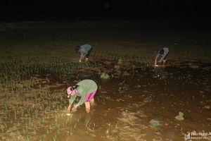 Tránh nắng nóng, nông dân Nghệ An thắp đèn nhổ mạ, cấy lúa về đêm