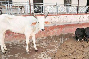Ấn Độ: Đến lượt bò mang thai bị thương do ăn bột trộn thuốc nổ