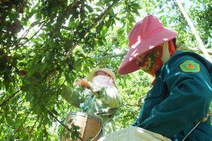 Sơn La: Mận mất mùa, giá lại thấp