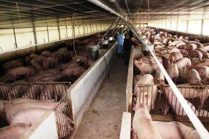 Giá thịt lợn cao ngất ngưởng, do đâu? - Bài 2: Bí ẩn chính sách bán hàng của doanh nghiệp chăn nuôi