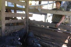 Lợn đen bản địa giúp vùng cao Hà Quảng giảm nghèo