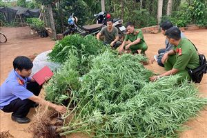 Liên tiếp phát hiện các vụ trồng trái phép cây cần sa tại Đắk Lắk