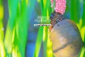 Quảng Trị: Ốc bươu vàng xuất hiện dày đặc