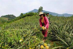 Nhân rộng mô hình trồng dứa cho bà con dân tộc thiểu số Vân Kiều