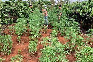 Đắk Lắk: Phát hiện trồng cây cần sa trái phép trên rẫy