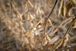 Đậu tương giảm giá nhẹ, dự báo sản lượng đậu tương toàn cầu sẽ tăng
