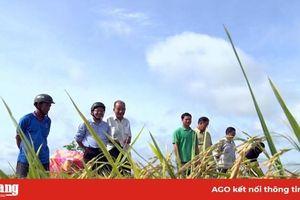 Phú Tân thí điểm trồng nếp theo tiêu chuẩn doanh nghiệp