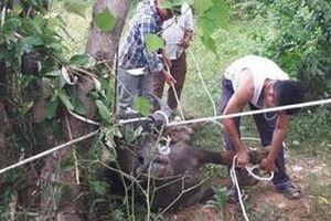 Trâu lạ lao vào vườn nhà húc tử vong một người phụ nữ