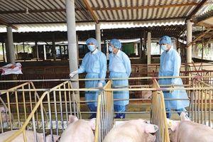 ĐBSCL nỗ lực tái đàn heo, chăn nuôi an toàn sinh học