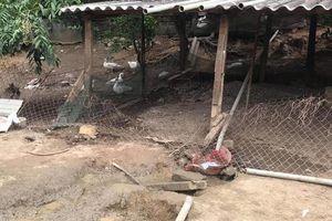 Trâu 'điên' húc chết người phụ nữ đang nhặt trứng trong vườn nhà mình