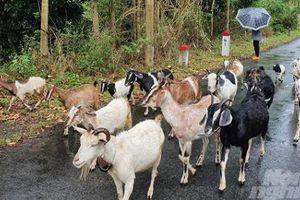 Khó phát triển đàn dê trên đảo Cát Bà