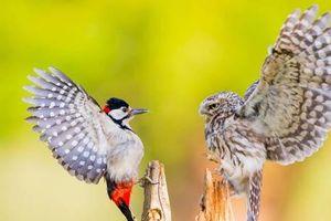 Ảnh đẹp: Chim cú quyết chiến với kẻ thù, vịt con làm bạn với chó
