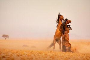 Những con ngựa hoang cuối cùng ở Namibia đối mặt tai họa