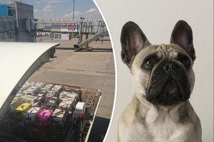 Canada rúng động vụ 500 chú chó bull bị nhồi nhét trong máy bay