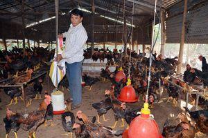 Giá gia cầm tăng mạnh, người chăn nuôi phấn khởi tái đàn