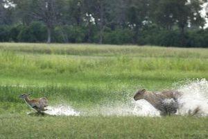 Màn chạy trốn ly kỳ của linh dương non khỏi móng vuốt sư tử