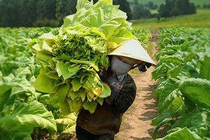Giải pháp phát triển bền vững vùng nguyên liệu thuốc lá